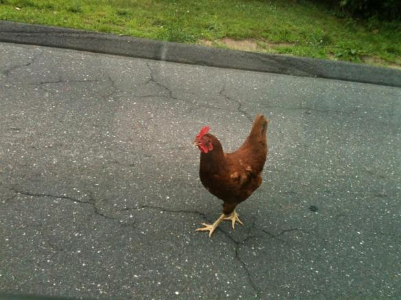 A chicken crosses the road.